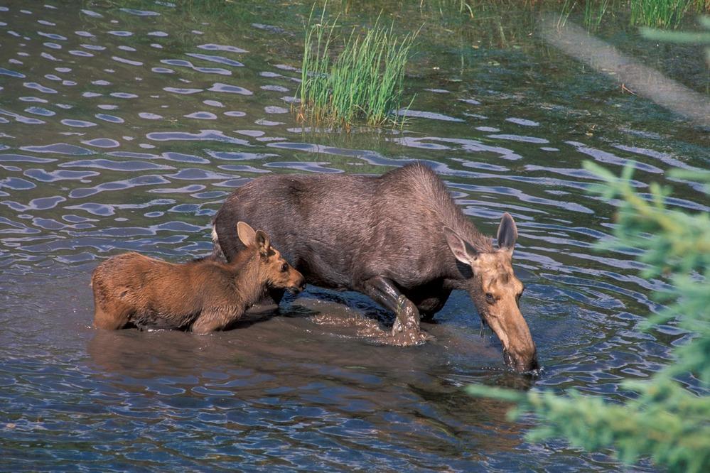 Glacier National Park - NPS Credit moose